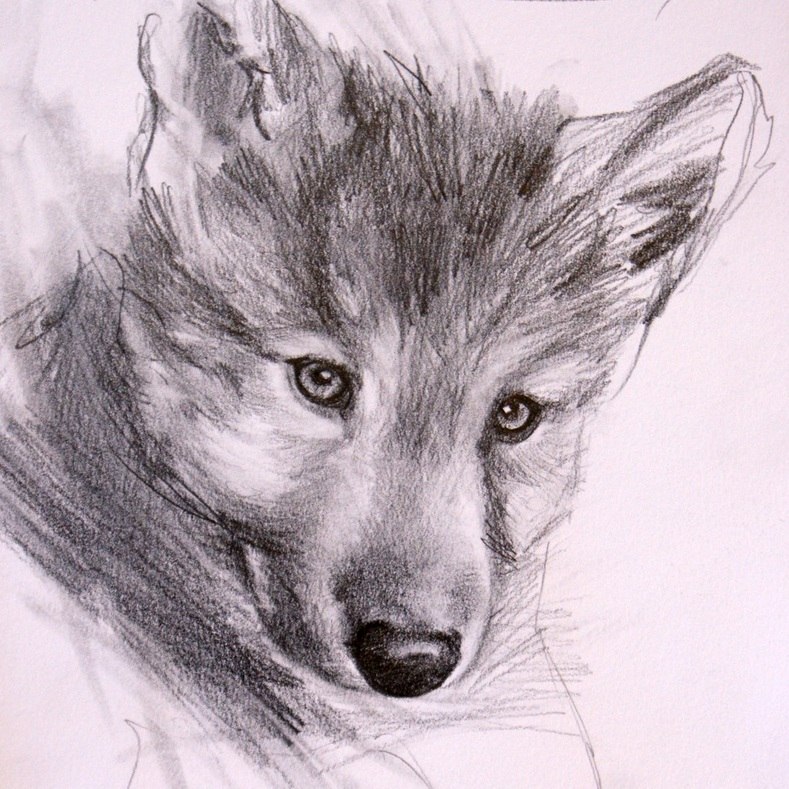 """Innocence,  Wolf Study #1"" original fine art by Crystal Cook"