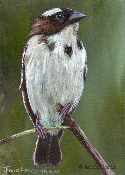 """""""White Browed Sparrow Weaver ACEO"""" original fine art by Janet Graham"""
