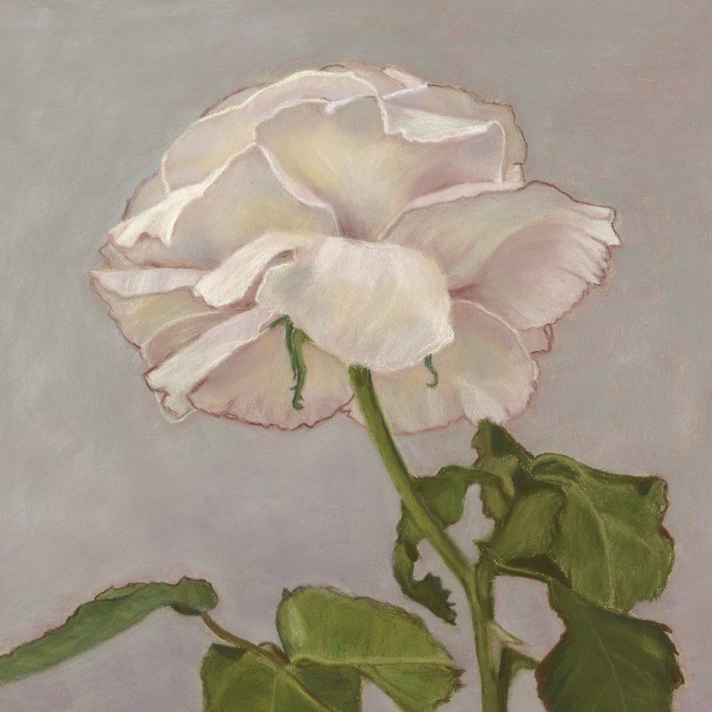 """The White Rose"" original fine art by Susan Fern"