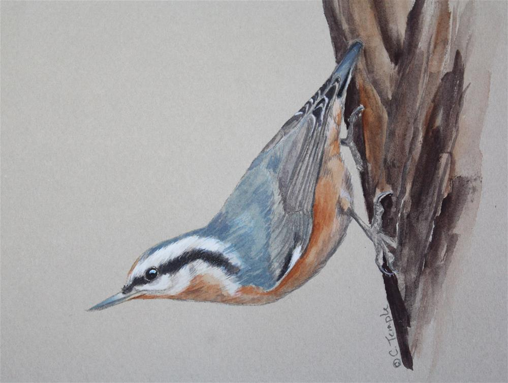 """Red-breasted nuthatch sketch"" original fine art by Catherine Temple"