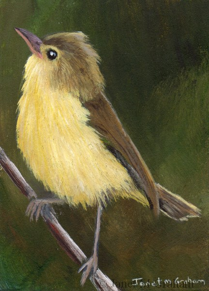 """Melodious Warbler ACEO"" original fine art by Janet Graham"