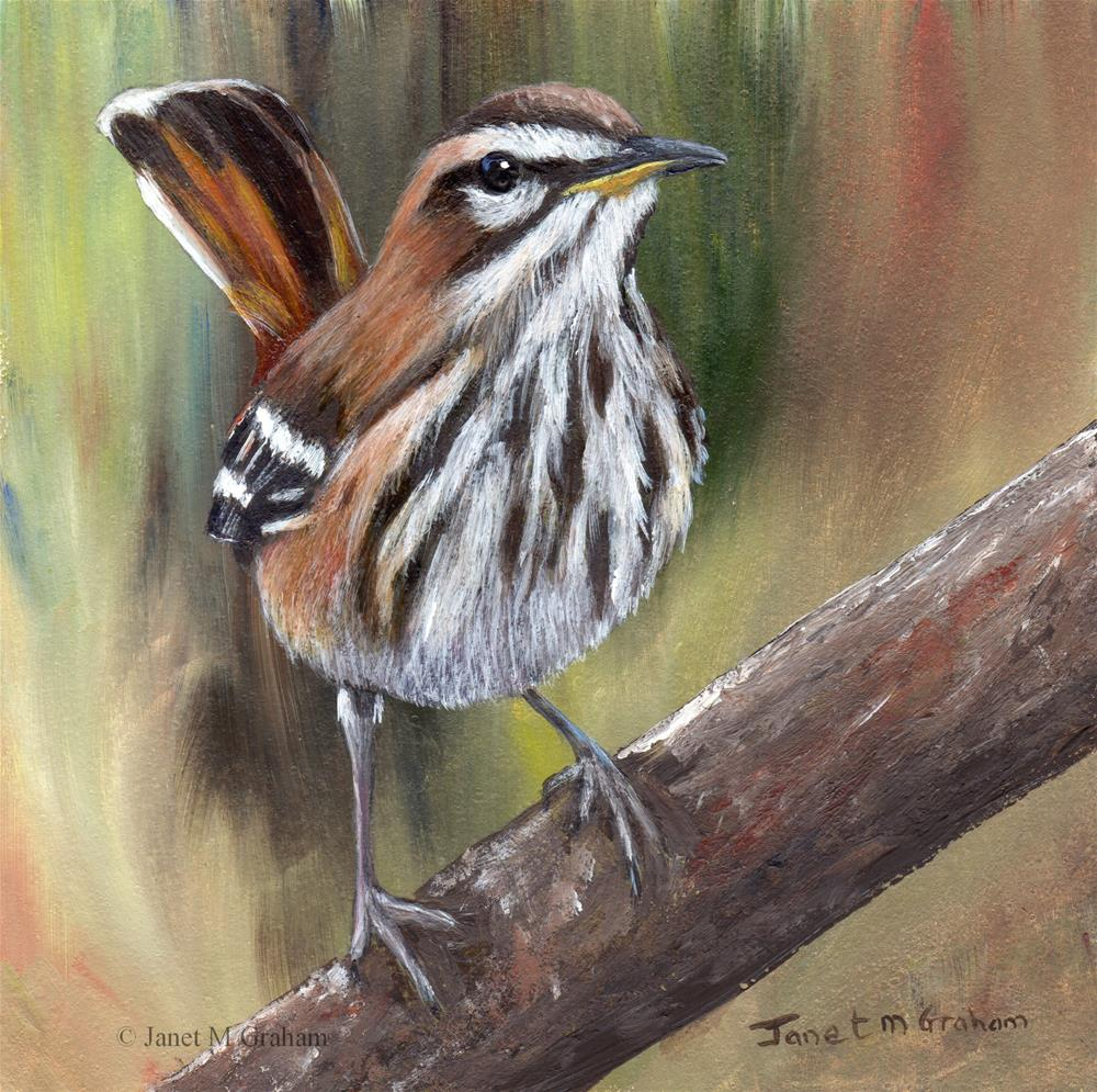 """White Browed Scrub Robin"" original fine art by Janet Graham"