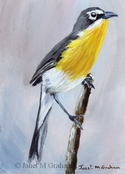 """Yellow Breasted Chat ACEO"" original fine art by Janet Graham"