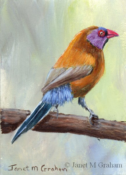 """Violet Eared Waxbill ACEO"" original fine art by Janet Graham"