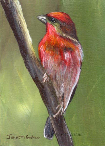 """Common Rosefinch ACEO"" original fine art by Janet Graham"