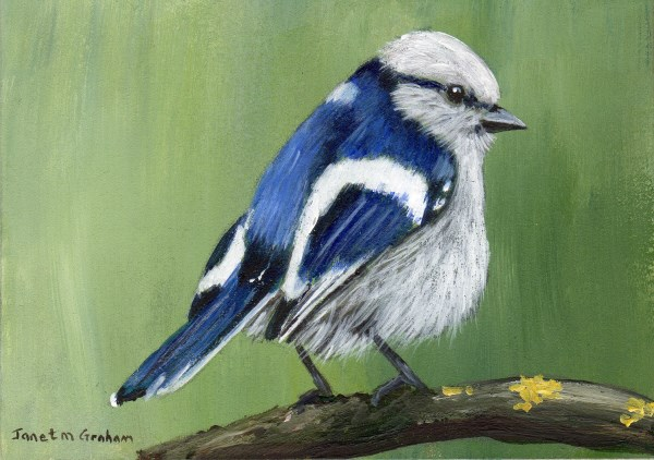 """Azure Tit ACEO"" original fine art by Janet Graham"