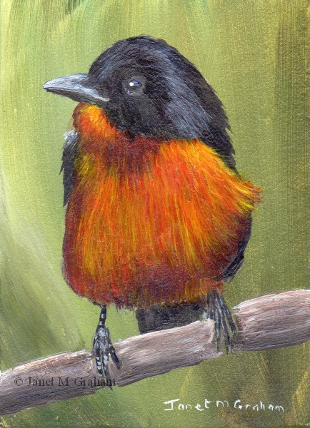 """Crimson Breasted Shrike ACEO"" original fine art by Janet Graham"