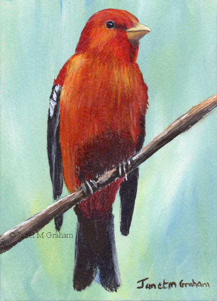 """Scarlet Tanager ACEO"" original fine art by Janet Graham"