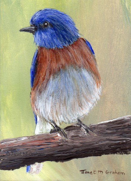 """Western Bluebird ACEO"" original fine art by Janet Graham"