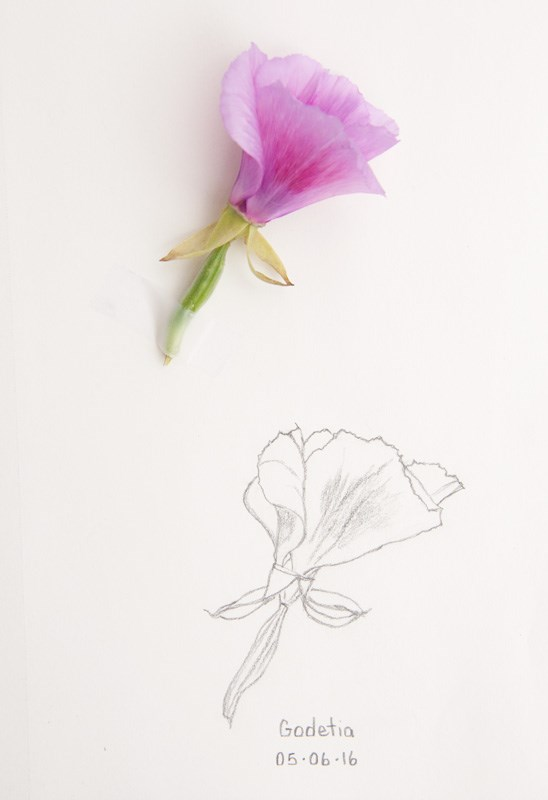 """Daily Sketch: Godetia"" original fine art by Debbie Lamey-Macdonald"
