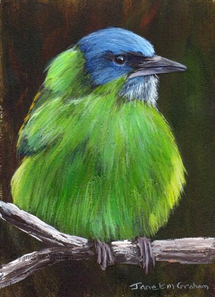 """Blue Dacnis ACEO"" original fine art by Janet Graham"