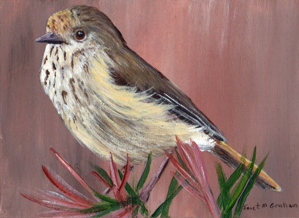 """Brown Thornbill ACEO"" original fine art by Janet Graham"