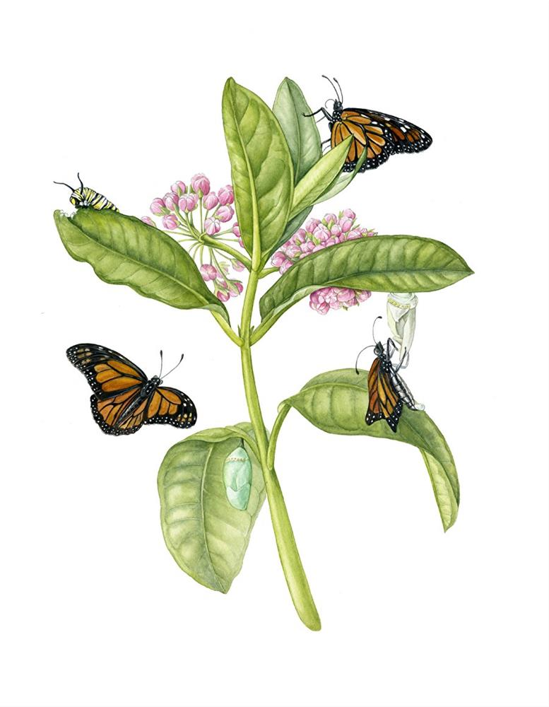 """Botanical Fine Art Painting, Nature,Butterfly MILKWEED MONARCH The Art of Nature, Fine Art by Mind"" original fine art by Mindy Lighthipe"