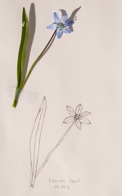 """Daily Sketch: Siberian Squill"" original fine art by Debbie Lamey-Macdonald"