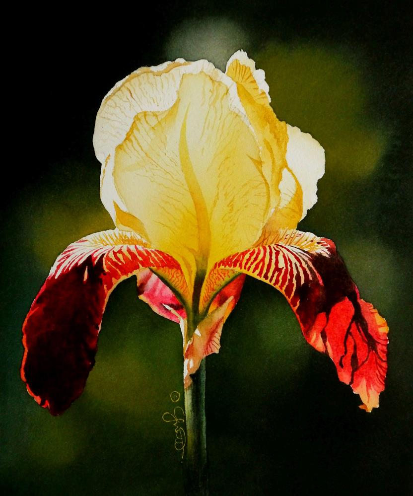 """Burgundy & Yellow Iris"" original fine art by Jacqueline Gnott, whs"