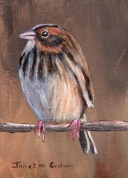 """Baird's Sparrow ACEO"" original fine art by Janet Graham"