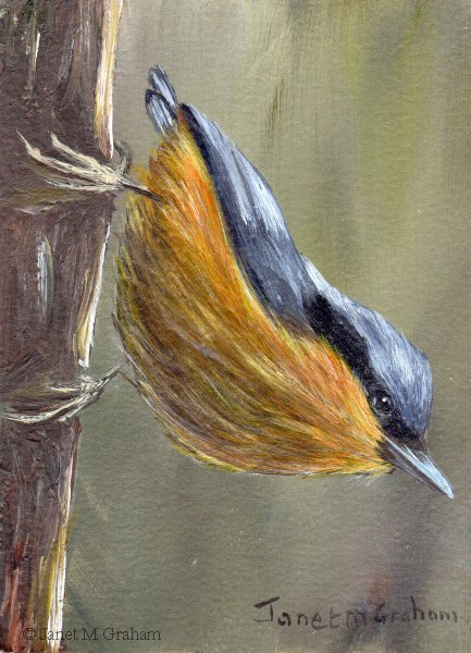 """""""White Tailed Nuthatch ACEO"""" original fine art by Janet Graham"""