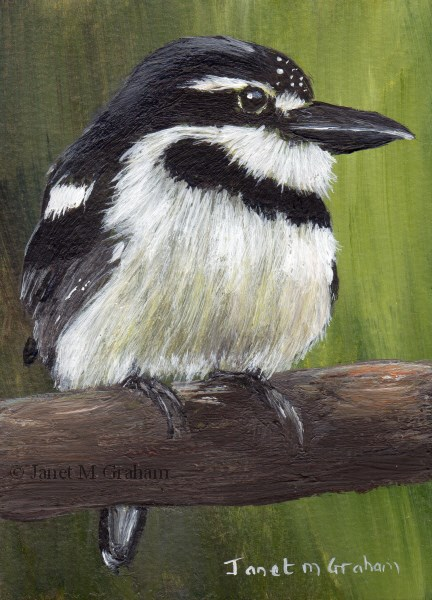 """Pied Puffbird ACEO"" original fine art by Janet Graham"