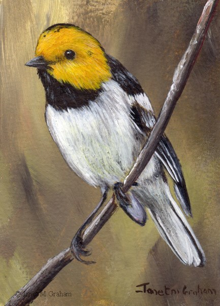 """Hermit Warbler ACEO"" original fine art by Janet Graham"
