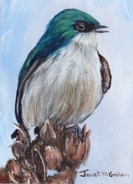 """Tree Swallow ACEO"" original fine art by Janet Graham"