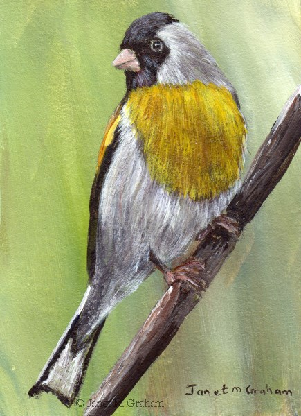 """Lawrence's Goldfinch ACEO"" original fine art by Janet Graham"