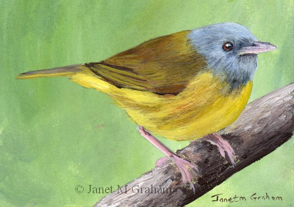 """Mourning Warbler ACEO"" original fine art by Janet Graham"