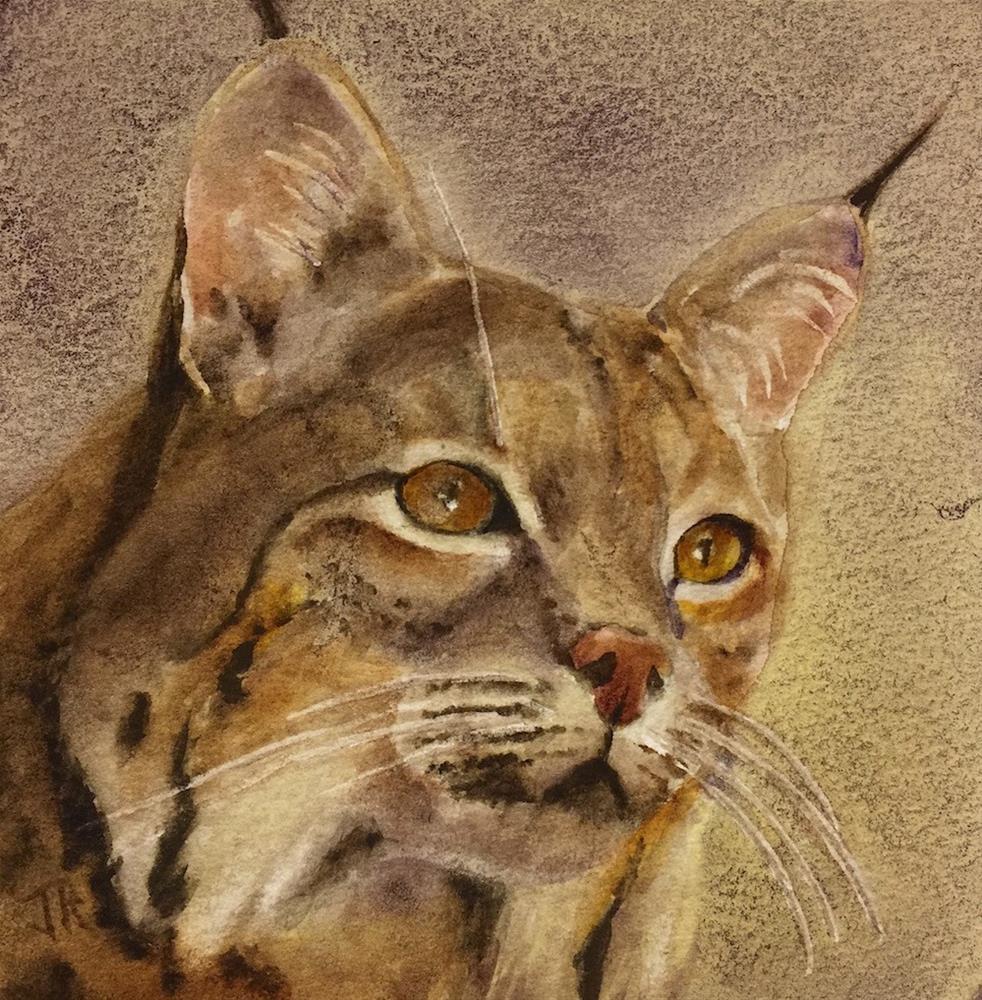 """Bobcat"" original fine art by June Rollins"