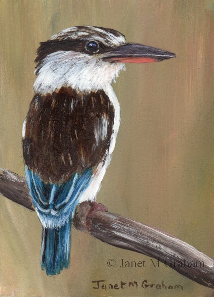 """Striped Kingfisher ACEO"" original fine art by Janet Graham"