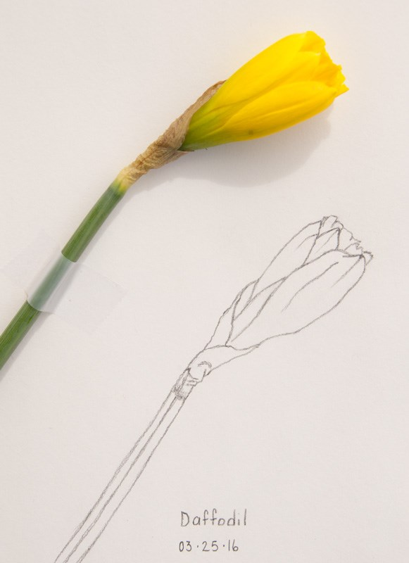 """Daily Sketch: Daffodil"" original fine art by Debbie Lamey-Macdonald"