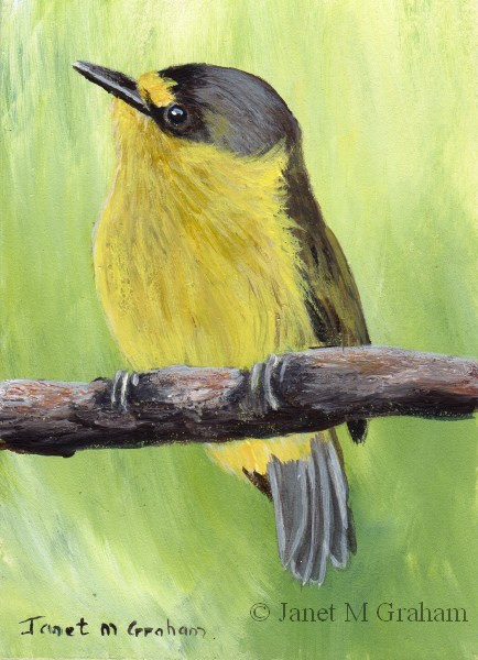 """Yellow Lored Tody Flycatcher ACEO"" original fine art by Janet Graham"