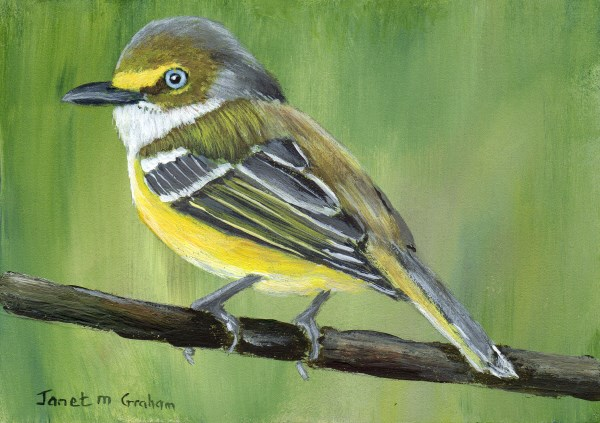 """White - Eyed Vireo ACEO"" original fine art by Janet Graham"