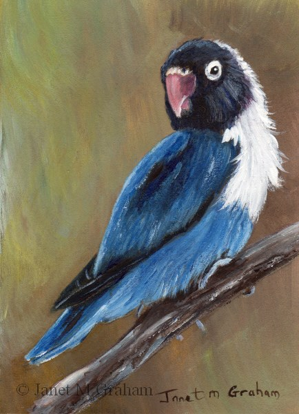 """Blue Masked Lovebird ACEO"" original fine art by Janet Graham"