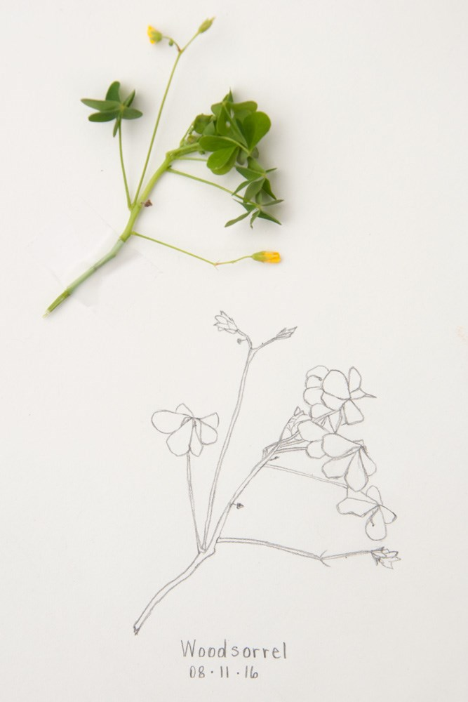 """Daily Sketch: Woodsorrel"" original fine art by Debbie Lamey-Macdonald"