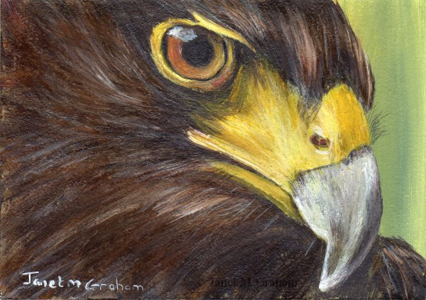 """Harris Hawk ACEO"" original fine art by Janet Graham"