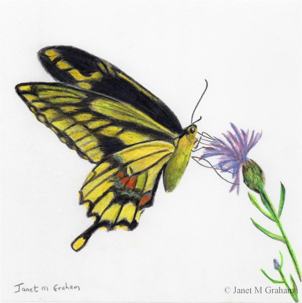 """Giant Swallowtail Butterfly"" original fine art by Janet Graham"