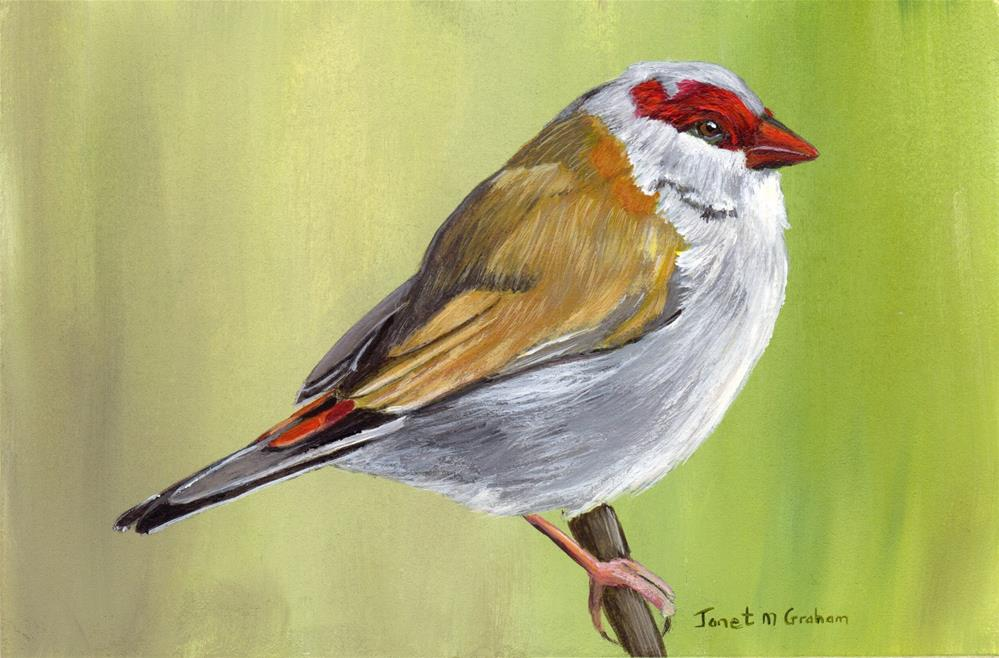 """Red Browed Finch"" original fine art by Janet Graham"
