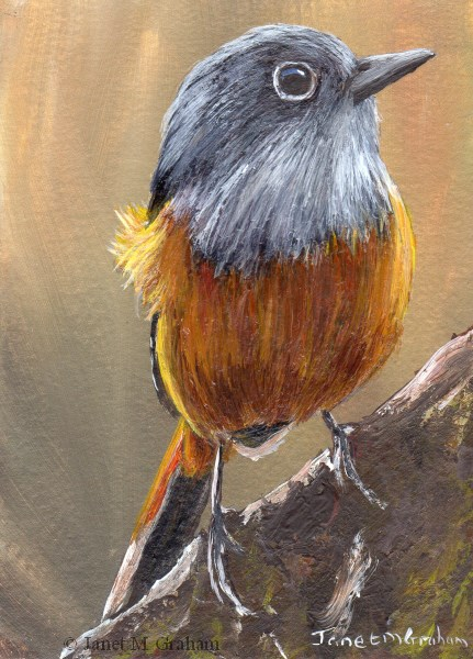 """Benson's Rock Thrush ACEO"" original fine art by Janet Graham"