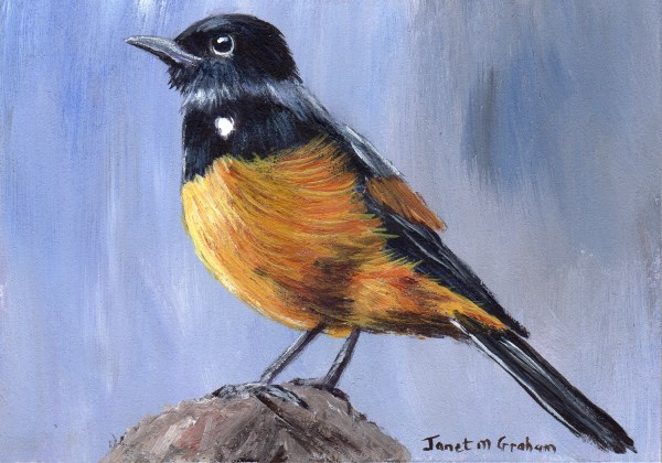 """Mocking Cliff Chat ACEO"" original fine art by Janet Graham"