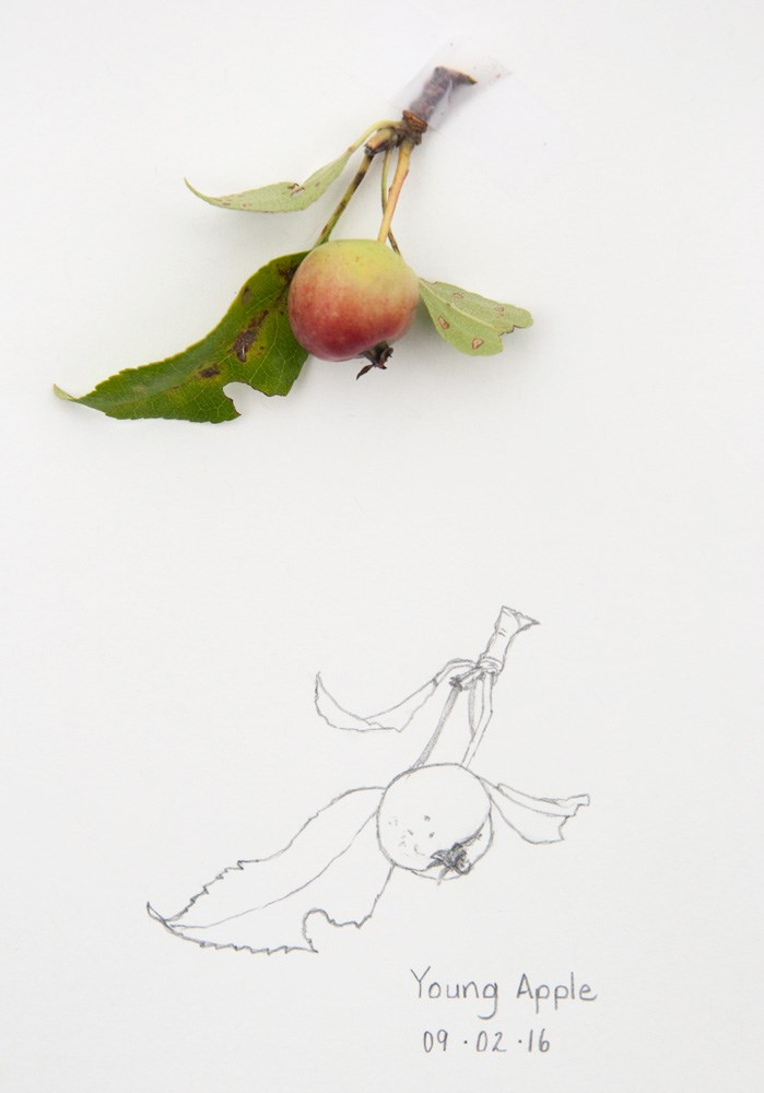 """Daily Sketch: Young Apple"" original fine art by Debbie Lamey-Macdonald"