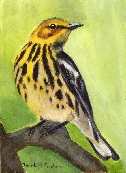"""Cape May Warbler ACEO"" original fine art by Janet Graham"