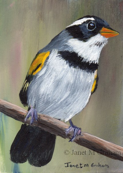 """Saffron Billed Sparrow ACEO"" original fine art by Janet Graham"