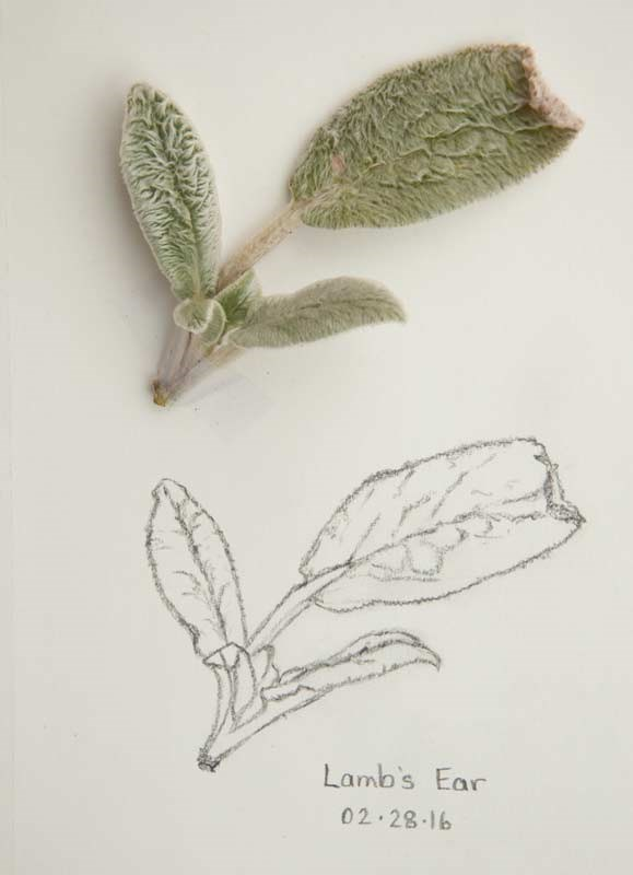 """Daily Sketch: Lamb's Ear"" original fine art by Debbie Lamey-Macdonald"