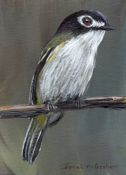 """""""Black Capped Vireo ACEO"""" original fine art by Janet Graham"""