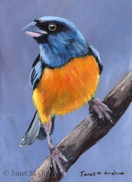 """Blue and Yellow Tanager ACEO"" original fine art by Janet Graham"