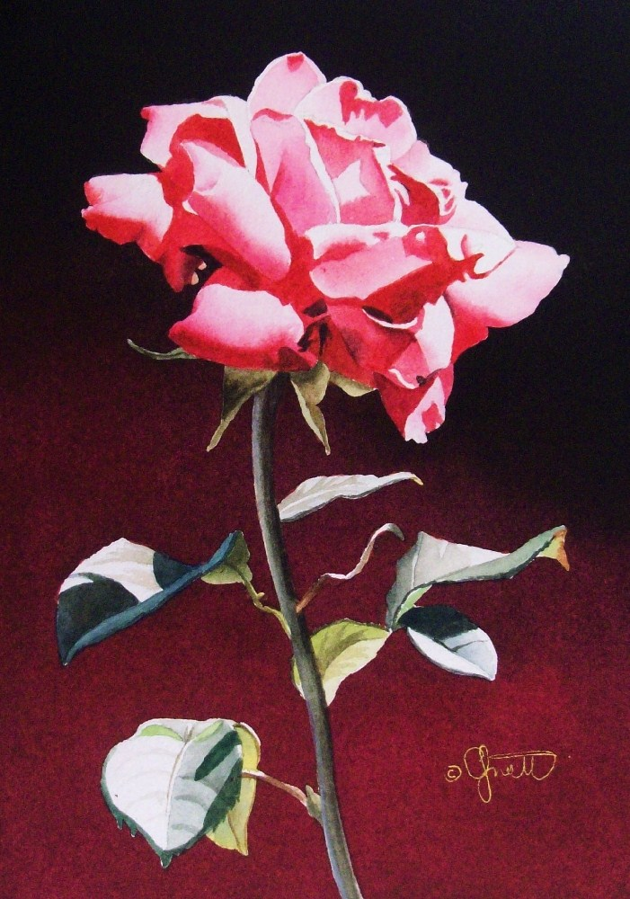 """Pink Rose with Gradation"" original fine art by Jacqueline Gnott, TWSA, WHS"
