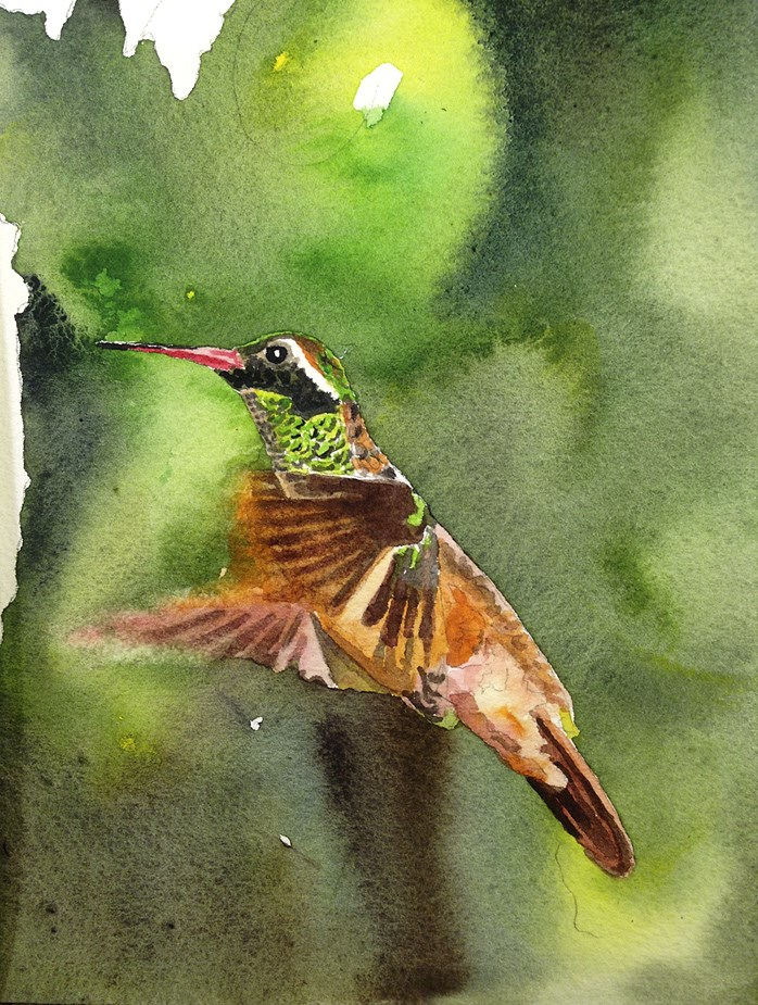 """X is for Xantus Hummingbird"" original fine art by Andy Sewell"