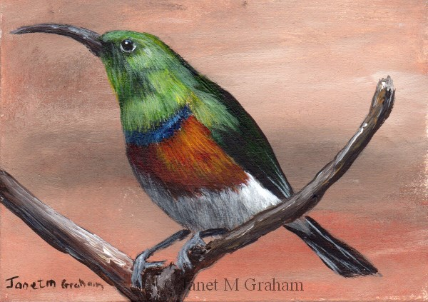 """""""Greater Double Collared Sunbird ACEO"""" original fine art by Janet Graham"""