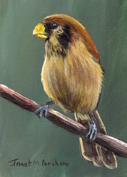 """Spot Breasted Parrotbill ACEO"" original fine art by Janet Graham"