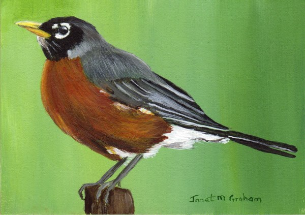 """American Robin ACEO"" original fine art by Janet Graham"