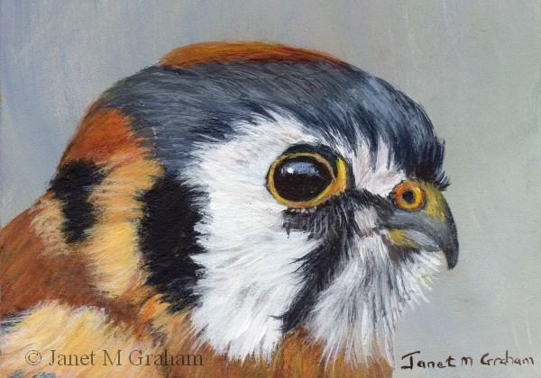 """American Kestrel ACEO"" original fine art by Janet Graham"